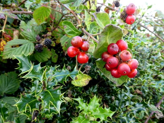 Holly, blackberries and honeysuckle berries