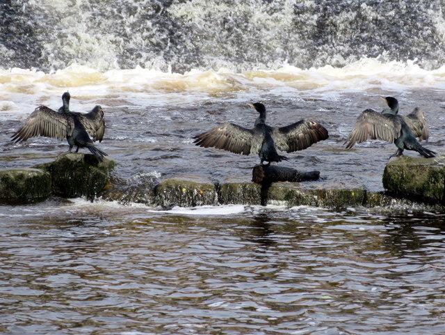 Three cormorants by the salmon steps