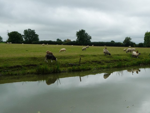 Sheep grazing, north-east of Fleckney