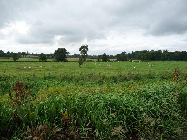 Sheep grazing a ridge and furrow field, north of Wistow