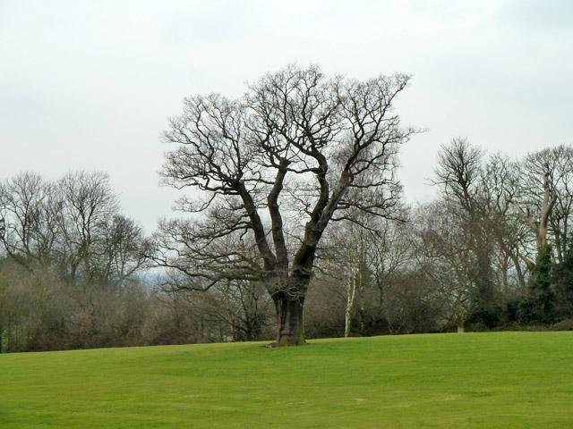 Tree, Mill Field