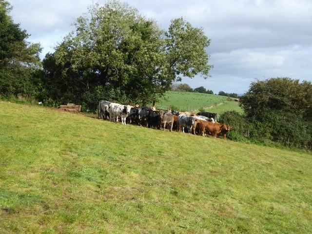 Bullocks near Raddon Hill Farm