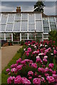 TL5238 : Peonies in the kitchen garden area, Audley End by Christopher Hilton