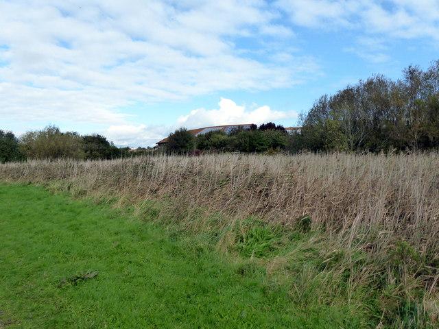 Reeds at Shinewater Park