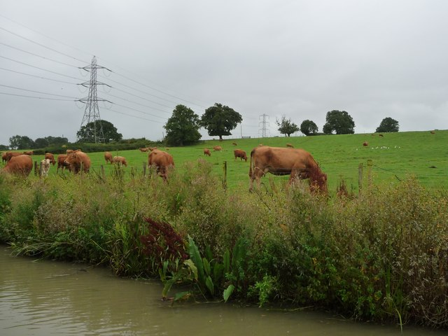 Cows grazing, west of Winwick Grange