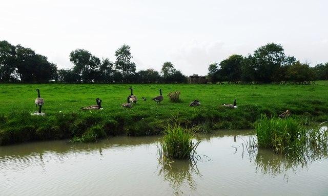 Canada geese, north of Crackshill Farm