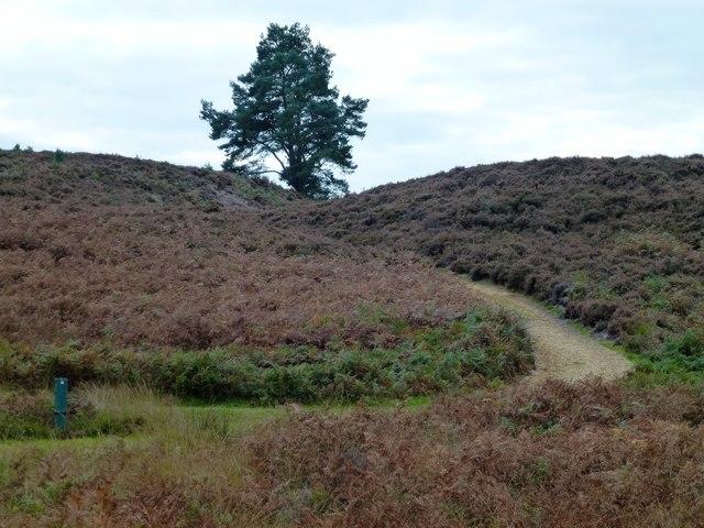 Sandy track through the heathers