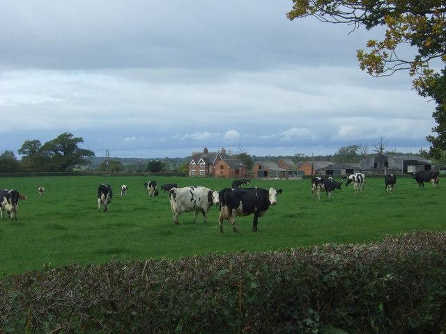 Cattle towards Heatley Bank Farm