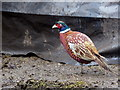 H3280 : Cock pheasant, Archill by Kenneth  Allen