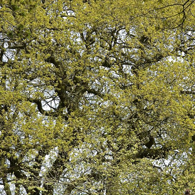 English Oak coming into leaf, Chadwick Lane, north of Chadwick End