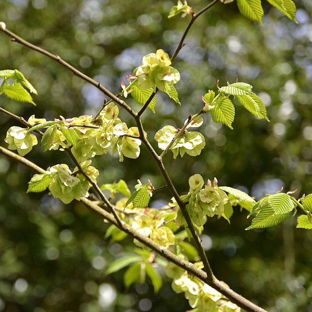 Fruits and young leaves of Wych Elm, Chadwick Lane, north of Chadwick End