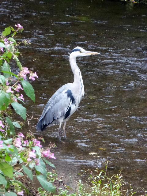 Heron, Dragley Beck, Ulverston