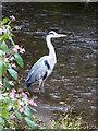 SD2977 : Heron, Dragley Beck, Ulverston by Chris Allen