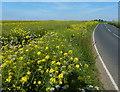 TA3719 : Oil seed rape crop along Easington Road by Mat Fascione