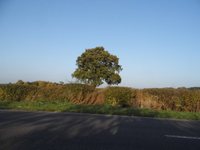 Tree by High Road, Cotton End