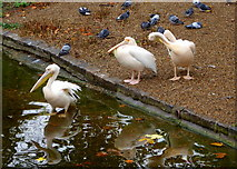 TQ2979 : Pelicans and pigeons in St. James' Park, London by pam fray