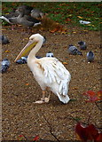 TQ2979 : Pelican in St. James' Park, London by pam fray