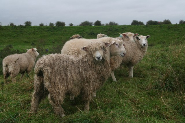 Who's escaped the shearers? Lincolnshire Longwool and friends on the sea bank south of North Sea Camp