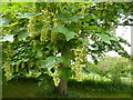 TF0216 : Flowering tree by Bob Harvey