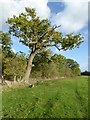 SO7943 : Tree in a hedgerow by Philip Halling