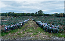 NH6751 : Christmas Trees awaiting collection by valenta