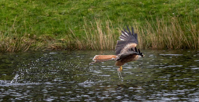 Red Kite at Nantyarian, Wales