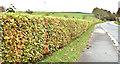 J4474 : Beech hedge, Killarn, Dundonald (October 2017) by Albert Bridge