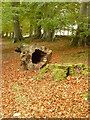 NY7962 : Hollow tree trunk and fallen leaves by Oliver Dixon