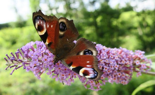 A Peacock Butterfly feeding on Buddleia
