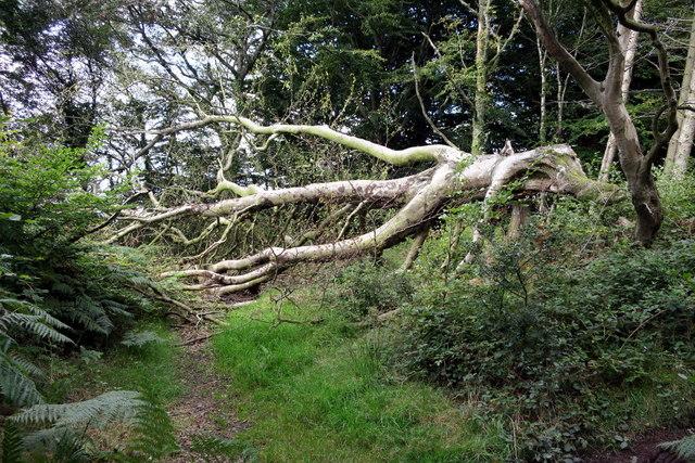 Fallen Tree across the Bridleway