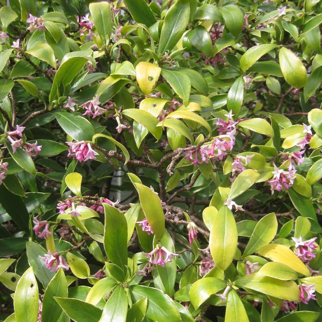 Daphne flowering in a front garden, Blackawton