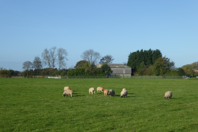 Sheep near Cawood