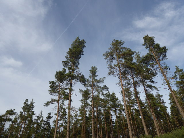 Pine trees on the slope of Ordie Caber