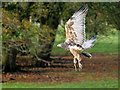 SE6083 : Grey Buzzard Eagle in Flight by David Dixon