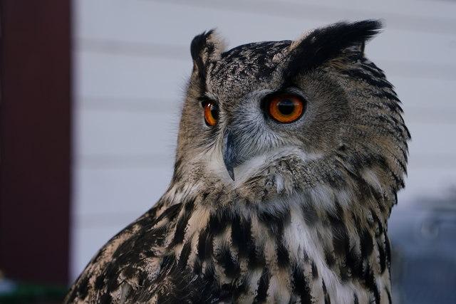 Europen Eagle Owl