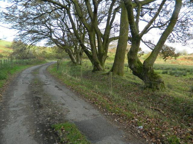 Row of trees lining the road, near Gelli-wion Farm