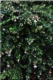 TQ1352 : Polesden Lacey: Abelia x grandiflora in the winter garden by Michael Garlick