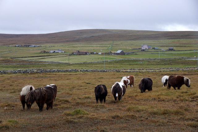 Shetland ponies near Nikkavord Lea, Baltasound