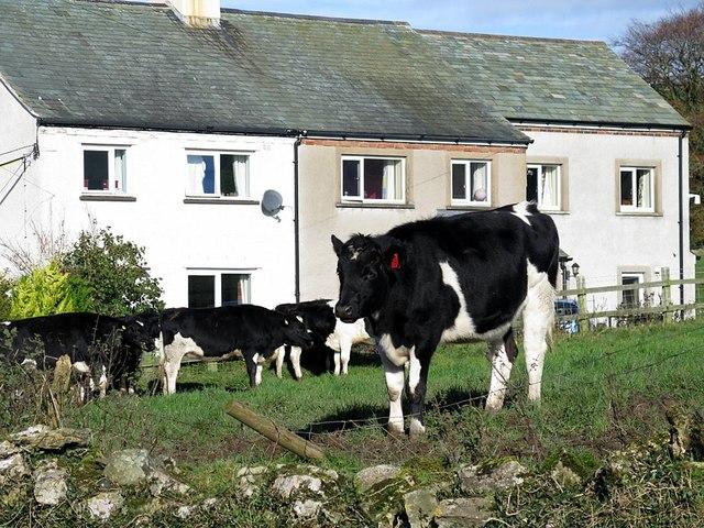 Terraced houses & cows, Uldale