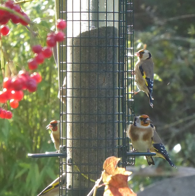 A charm of goldfinches (Carduelis carduelis)