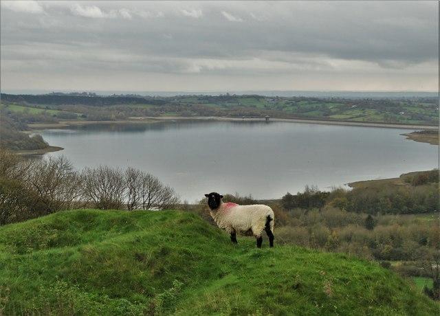 Sheep above Carsington Water