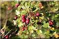 TF1217 : Hawthorn berries by Bob Harvey