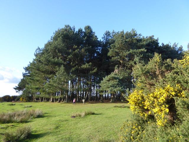 Friends' Clump, Ashdown Forest