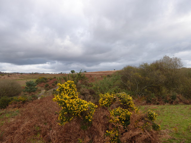 Old bracken on Ashdown Forest