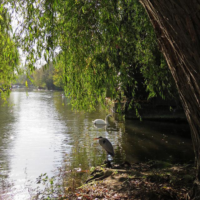 Chesterton: a swan and a heron near Green Dragon Bridge