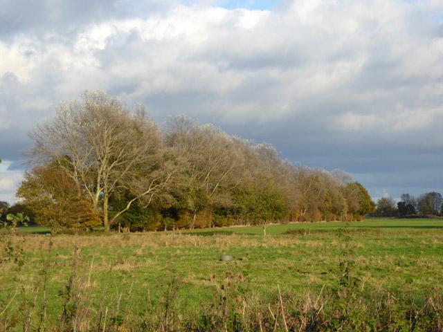 Trees along Hawcrofts Lane, Over
