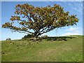 SO7535 : Oak tree on Chase End Hill by Philip Halling