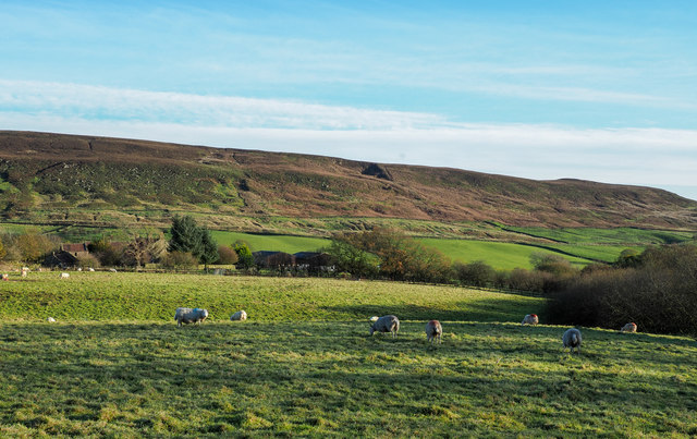Sheep grazing near to Hall Garth