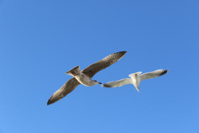 Herring Gulls, Brighton,  East Sussex