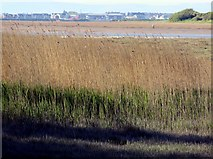 SD3642 : Reed beds by the Wyre Estuary by Steve Daniels